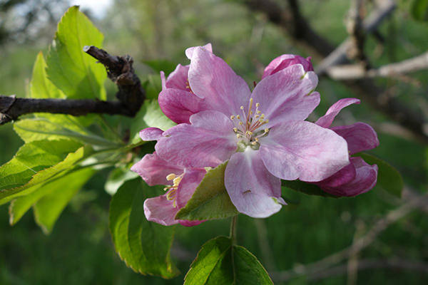 Scarlet Surprise Apple Blossom