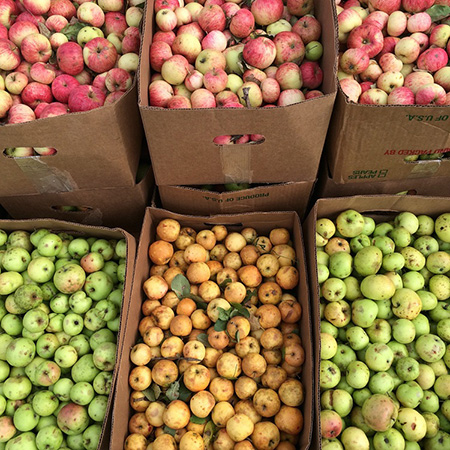Catskills Feral Apples